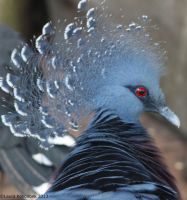 Victoria Crown Pigeon by ChaosToGlory