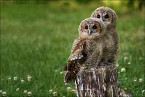Tawny Owls 02 by Alannah-Hawker