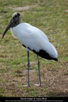 Wood Stork Stock by Cassy-Blue