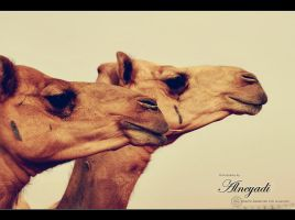 camels by Alneyadi
