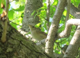 House Wren 2a by Windthin