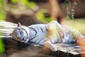 White Tiger at Audubon Zoo by firecloak