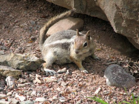 Stock Game 1 Chipmunk by SybilThorn