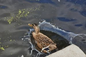 duck splash by pinestater234