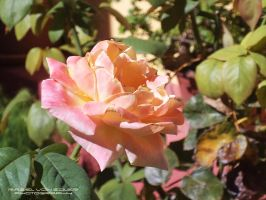 Rose Garden by RazielMB-PhotoArt