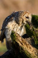 Tawny owl eating by AngiWallace