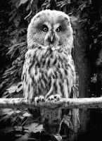 Great Grey Owl Portrait by Coigach