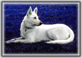 White swiss shepherd - Aria by JOhanka1412