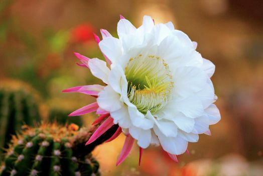 Easter Lily Cactus by Monkeystyle3000