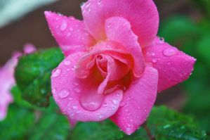Wet Rose by sumangal16