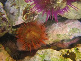 Sea Urchins by C-Puff