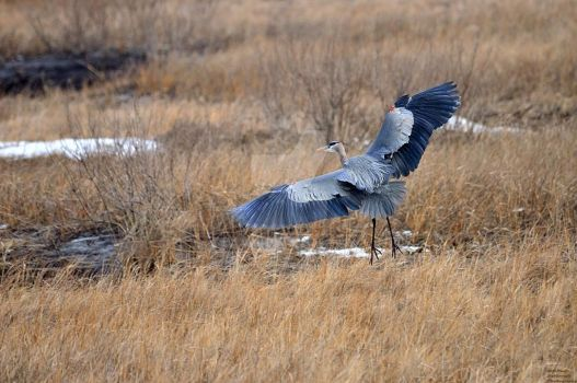 Great Blue Heron Liting by mrdeforrest