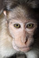 Bonnet Macaque Monkey Goa India by RixResources