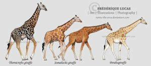 Giraffe subspecies by namu-the-orca