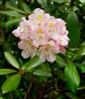Rhododendron by LAlight