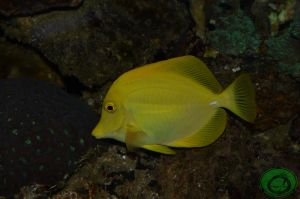 The Yellow Tang by Idraemir