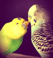 Budgie love by merisX