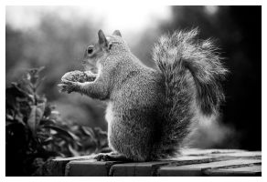 B and W The hungry squirrel by QaysA