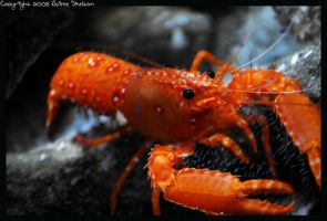 Rock Lobster by JaimeSkelton