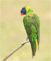 Rainbow Lorikeet by Firey-Sunset