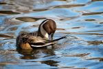 Northern Pintail by DeniseSoden