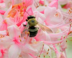 Bumble Bee on Honeysuckle by Rjet33
