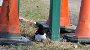 Oyster catcher on eggs by piglet365