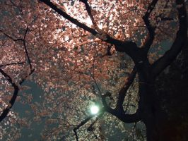SAKURA cherry blossoms 205 by hirolu