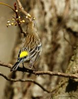 Yellow Rumped Warbler 2 by natureguy