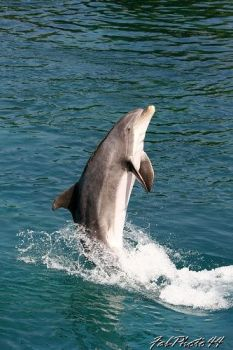 Dolphin by fabphoto44