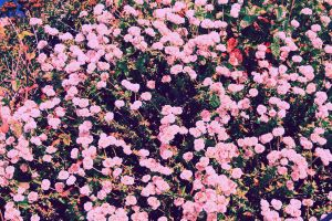 J, Blossom by Zee-thunderclouds