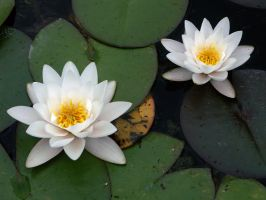 Two white waterlily 1 by Evanderiel