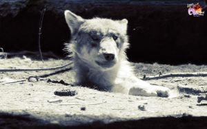 Free Wolves 5 by pixbird