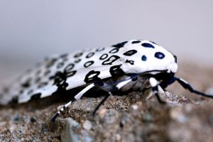 Giant Leopard Moth by Meddling-With-Nature