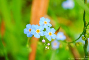 Forget me not... by Allerlei