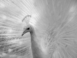 White Peacock by Surfernetdude2