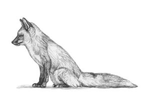 Todd the Red Fox by silvercrossfox