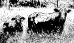 Cow and Calf (Ink) by KeithMeyerArt