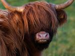Morning Coo by WestLothian
