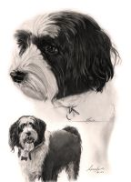 Commission - Tibetan Terrier by Captured-In-Pencil