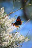 Red Admiral by isobellefox
