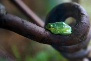 Green Treefrog by cheslah