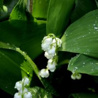 Lily of the valley 01 by Yahira87