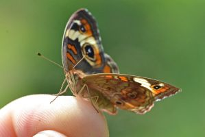 Common Buckeye On My Finger by wreckingball34