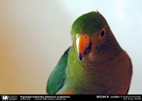 King parrot (Alisterus scapularis) by CorpyDragon