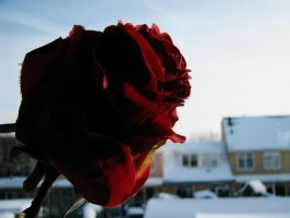 A Rose on a Wintersday by TheEndWhereIBegin