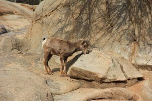 Big Horn Sheep 2 by Chocomix-Stock
