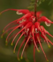 Grevillea by Coraloralyn