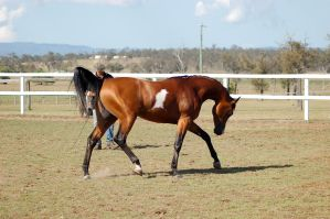 GE Arab pinto trot neck arc side by Chunga-Stock