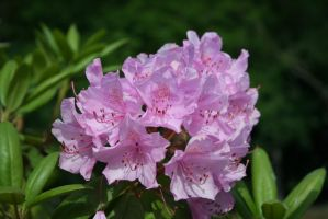 Rhododendron in castlegarden by ingeline-art